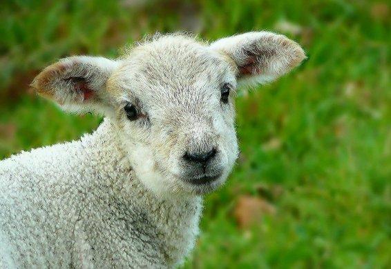 sheep-248632_12805948898040267981582.jpg